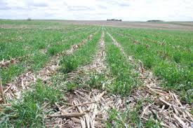 cover crop and residue
